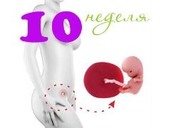Perkembangan janin pada kehamilan minggu ke-10