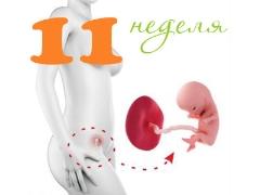 تطور الجنين في الأسبوع الحادي عشر من الحمل