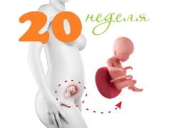 Perkembangan janin pada kehamilan minggu ke-20
