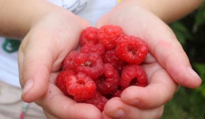 Raspberry di tangan seorang kanak-kanak